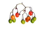 Deadly Nightshade (Solanum dulcamara)